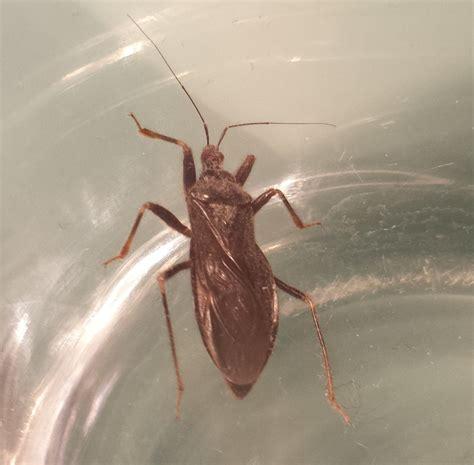käfer in der wohnung bestimmen unbekannter k 228 fer mit roten augen k 228 fer coleoptera