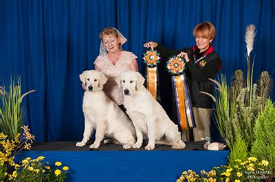 national show golden retriever 2017 2017 golden retriever national bluebreeze