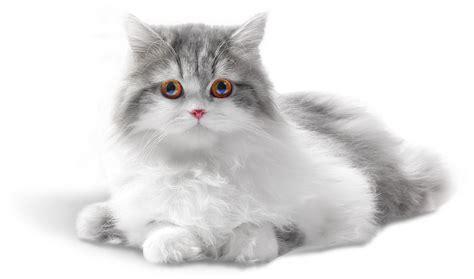 imagenes de gatitos blancas tiernas tiernas im 225 genes de hermosos gatitos en png para descargar