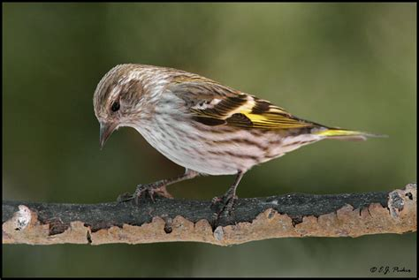 pine siskin carduelis pinus planet of birds