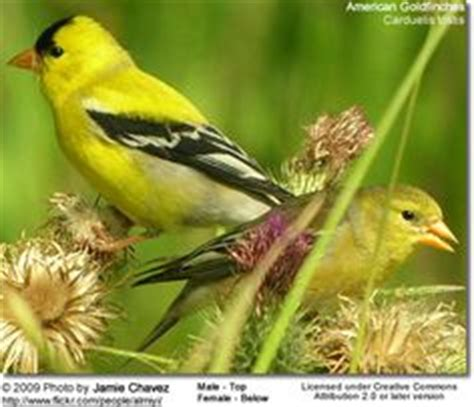 1000 images about state birds and flowers on pinterest