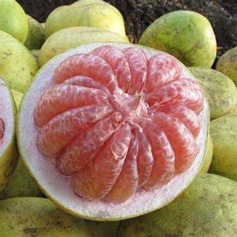 Jeruk Bali Pamelo jual bibit tanaman buah jeruk bali pamelo di lapak