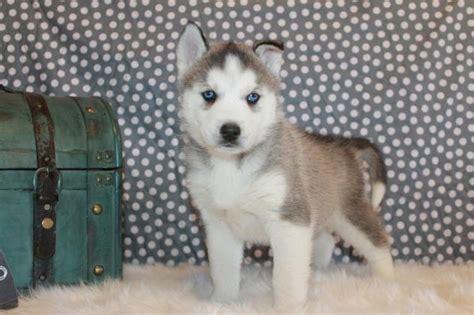 alimentazione husky cucciolo husky siberiano cucciolo prezzo