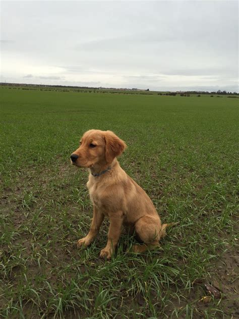 working golden retriever puppies for sale uk working golden retriever kc reg puppy tranent east lothian pets4homes