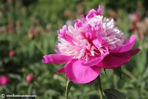 peony flowers peony pictures peony flower pictures