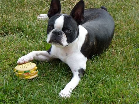Cats That Shed The Least Amount Of Hair by Boston Terrier Un Amigable Compa 241 Ero Hogar Animales Hoy