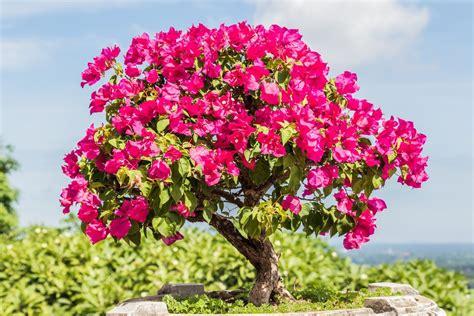 bonsai bougainvillea tips     bonsai
