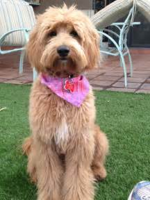labradoodle hairstyles australian labradoodle summer haircuts