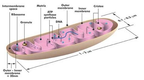 mitochondrion diagram image gallery mitochondrial structure