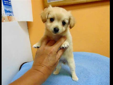 chihuahua pomeranian poodle mix pomeranian chihuahua mix los angeles pico rivera dogs puppies for sale puppies