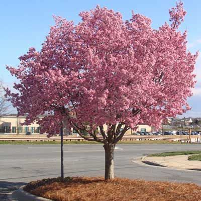 17 best images about small flowering trees on pinterest trees plant catalogs and different