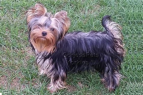 yorkies for sale near me yorkie breeders near me puppies for sale 702 789 7892 gorjesspets