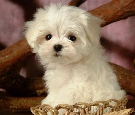 50 gambar anak anjing lucu imut menggemaskan gambar kata kata