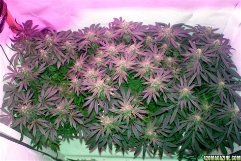 Cotton Buds Cinderella koncept s dwc top led 1200w holy grail kush blzbud