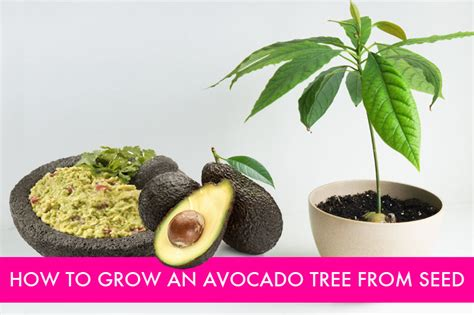 how to grow an avocado tree from seed green healthy farm - Avocado Tree From Seed Fruit