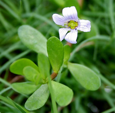 Where To Get L by Bacopa Monnieri Hortipedia