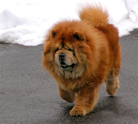 chow puppy chow chow photos and wallpapers the beautiful chow chow pictures