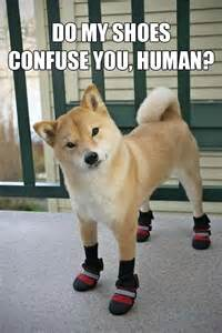 Meme Shiba Inu - 25 shiba inus so wow much cute meme collection