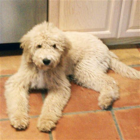 goldendoodle puppy reviews standard goldendoodle www pixshark images