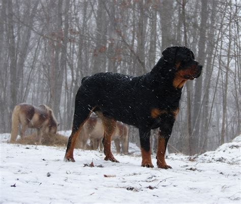 rottweiler origin and history rottweilers as herding dogs laurel mountain shepherds