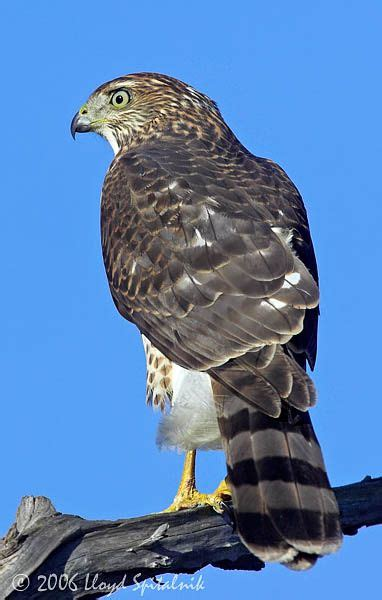 this is a cooper s hawk we have one in our neighborhood