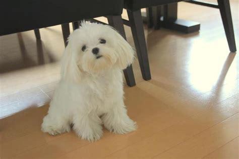 maltese teddy bear cut pin maltese haircut styles best haircuts and hairstyles