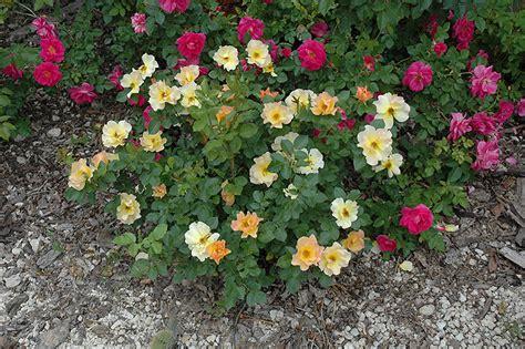 morden sunrise shrub rose rosa morden sunrise