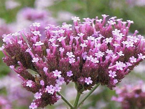 verbena fiore verbena pianta piante annuali pianta verbena