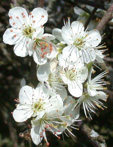 fiori di susino susino prugno il giardino degli angeli