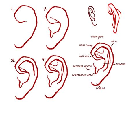 Drawing Ears by How To Draw Human Ears Step By Step