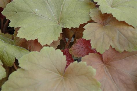 Southern Comfort Coral Bells by Southern Comfort Coral Bells Heuchera Southern Comfort