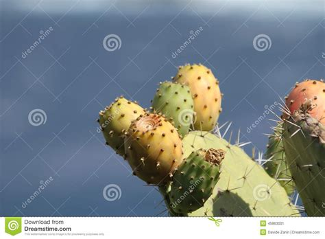 image prickly pear cactus fruit download prickly pear stock photo image 45863001