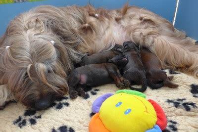 wann sind hunde läufig briardwelpen schweiz aktuelle wurfmeldung kleinanzeige wir