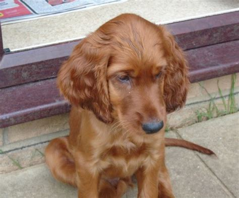 setter dogs for sale uk irish red setters puppy for sale arundel west sussex