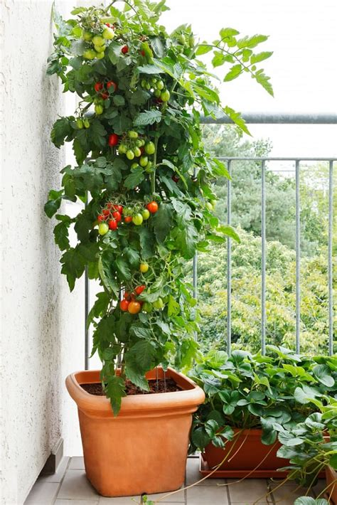 best tomato plants for container gardening best tomato varieties for containers balcony garden web
