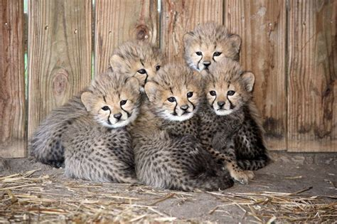 picture   day   cheetah cubs twistedsifter
