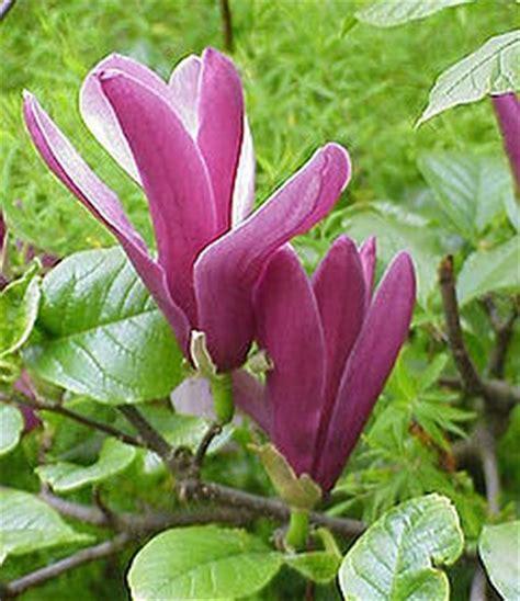 Tanaman Bunga Kantil Merah tanaman cempaka merah magnolia liliiflora bibitbunga