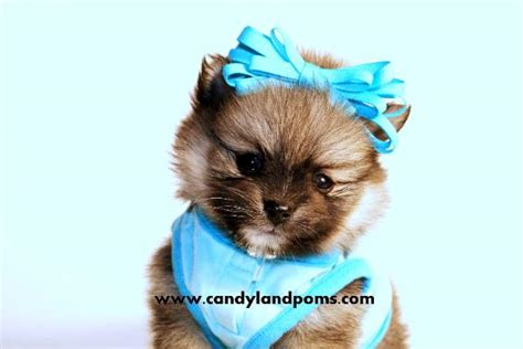 pomeranian puppies for sale in houston tx pomeranian puppies for sale in houston teddy poms picture breeds picture