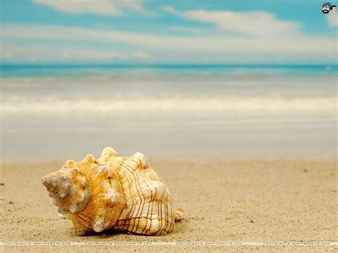 shell wallpaper sea shells wallpapers wallpaper cave