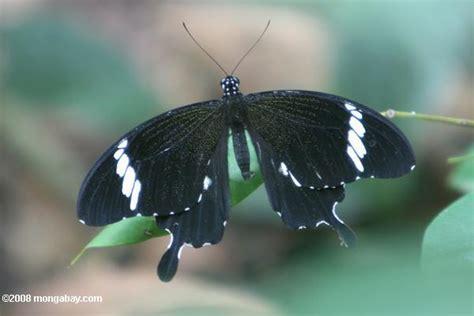 Wdd Tunik Kupu Kupu Putih foto kupu kupu