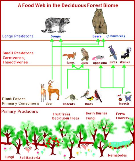 forest food chain diagram trophic structure