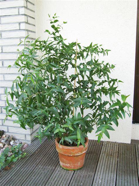 eukalyptus pflanze kaufen eukalyptus kr 228 uter gem 252 se so gesund kann