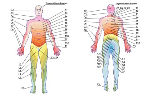 dermatomes map image gallery dermatome