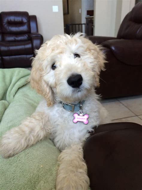 goldendoodle puppy adoption best 25 goldendoodle adoption ideas on puppy