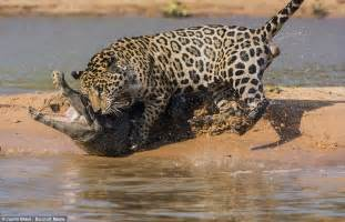Alligator Jaguar Jaguar Vs Crocodile 187 Epic Wildlife News Photos