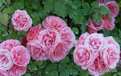ilmu  teknik pemeliharaan mawar mini  rajin berbunga