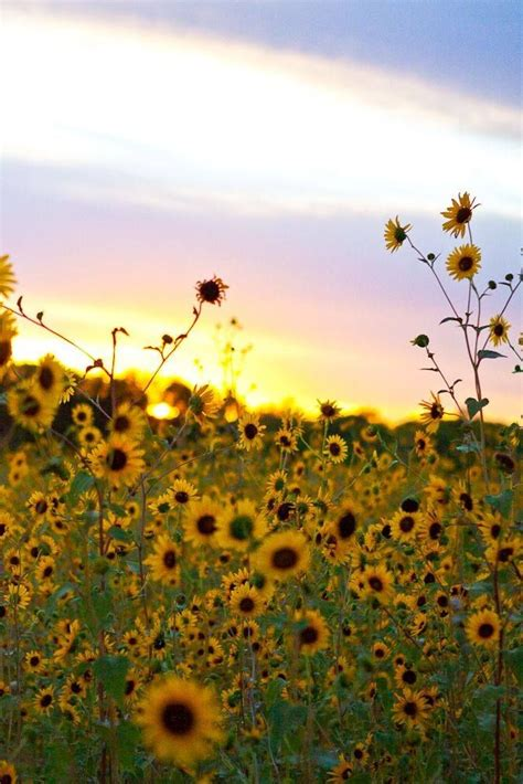 sunflower field in kansas sunflower field ted duboise sunflowers in kansas 1000 images about kansas on pinterest