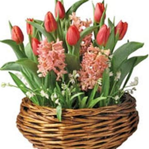 Gardeners Supply Amaryllis Growing Bulbs Indoors Forcing Bulbs Forcing Indoor