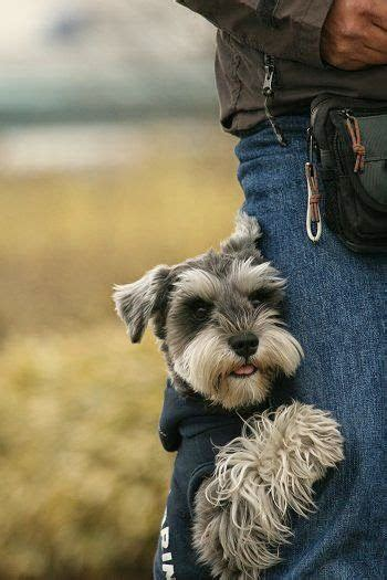 pictures miniature schnauzer with long hair schnauzers miniature schnauzer and miniature on pinterest