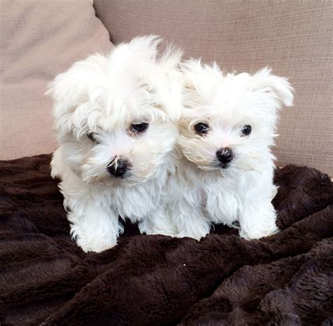 maltese puppies for sale in colorado adorable k c registered maltese puppies for sale wigan greater manchester pets4homes